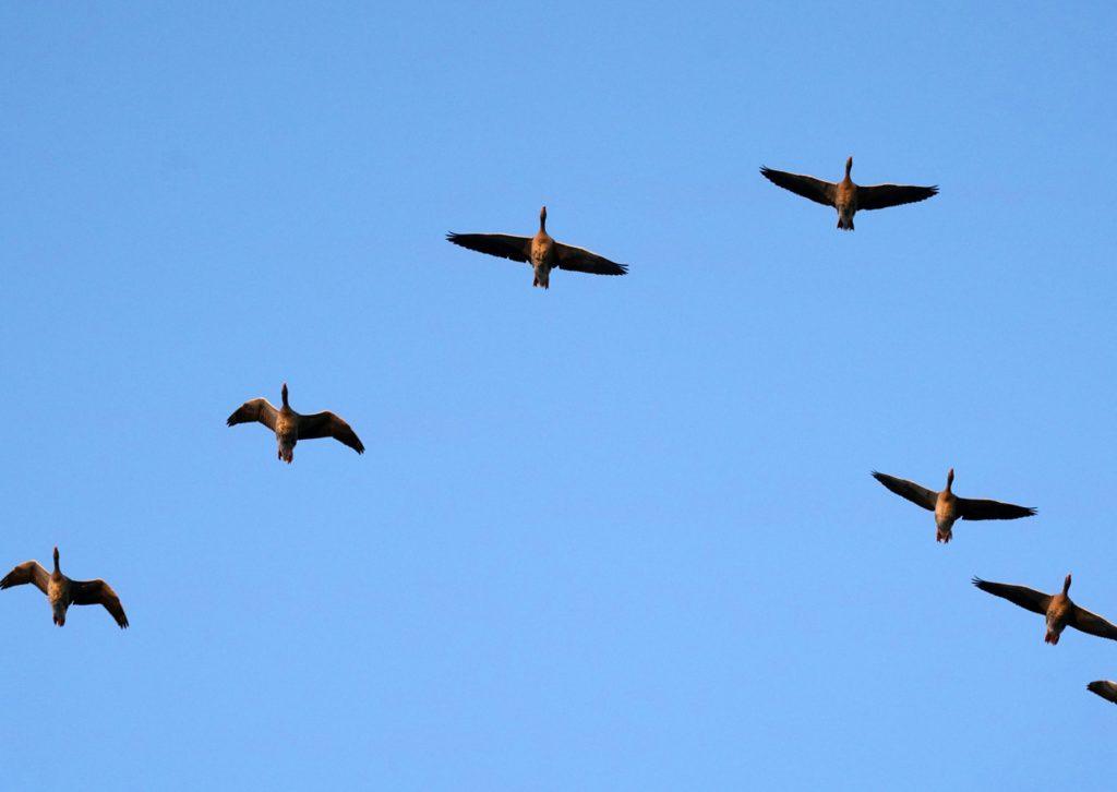 Vogelzug - hier gesehen im Oderbruch in Brandenburg
